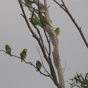 Budgies in the breeze
