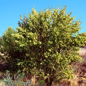 Narrow-leafed Hop Bush, QAA Line