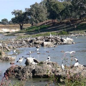 Birds fishing at the fish traps