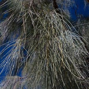 Acacia peuce foliage