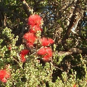 Wildflowers at Baladjie Rock