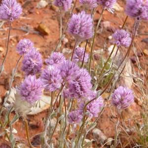 Hairy Mulla Mulla  - Ptilotus helipteroides