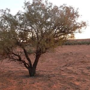 Young Gidgee tree, Simpson Desert
