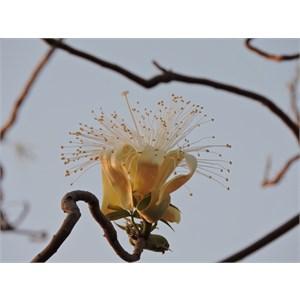 Boab Flower