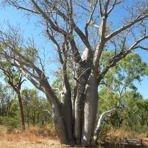 Multi-stemmed boab, Gregory NP, NT