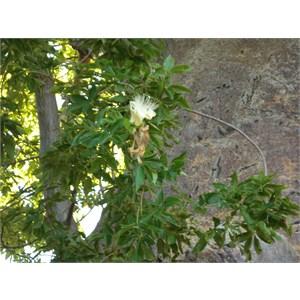 Boab flower - Derby