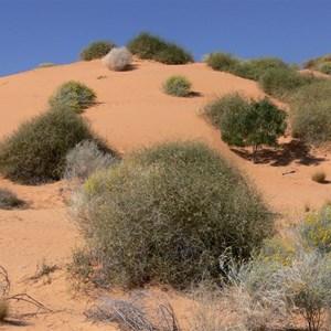 Rounded Lignum bushes on dunes near Birdsville