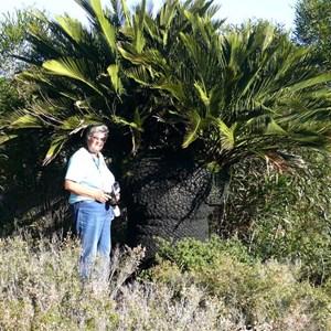 Large Macrozamia dyeri, Cape Arid Np, WA