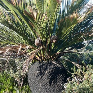 Cones on Macrozamia dyeri.