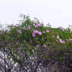 Weir Vine - Ipomoea calobra