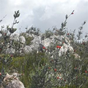Barrens Regelia