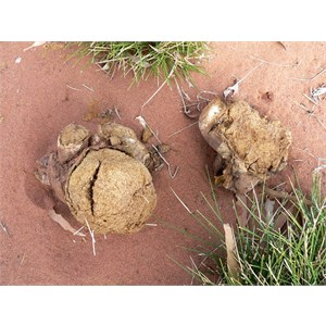 Pisolithus albus, Puffball Fungus, Canning Stock Route