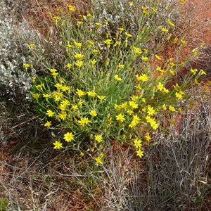 Fleshy Groundsel or Annual Yellow-top - Senecio gregorii