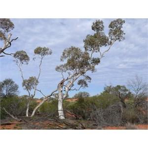 Eucalyptus gongylocarpa, Great Vistoria Desert, SA