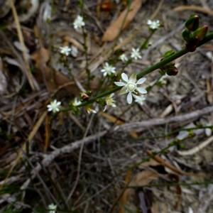 Macarthuria australis