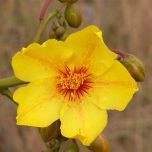 Cochlospermum gillivraei near Georgetwon, Qld