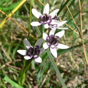 Early Nancy - female flowers
