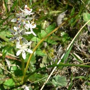 Early Nancy - male flowers