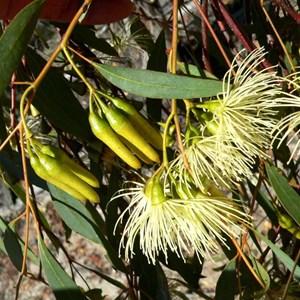 Flat-topped yate, Eucalyptus occidentalis near Lake Grace, WA