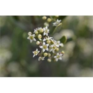 Rhamnaceae  Juss