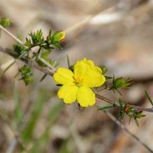 Hibbertia exutiacies