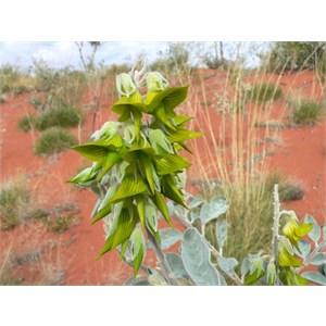 Rattlepod, Crotalaria cunninghamiana