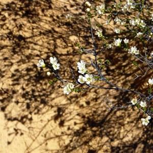 Chamelaucium pauciflorum