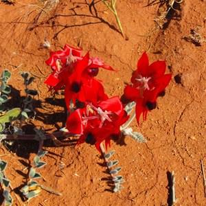 Stuart Desert pea