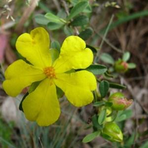 Grey Guinea flower, Brindabella Ranges, NSW/ACT