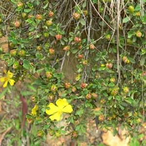 Grey Guinea-flower, Brindabella Ranges, ACT/NSW