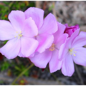 Pink Rainbow Sundew