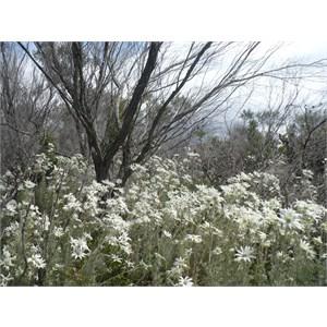 Flannel Flower field